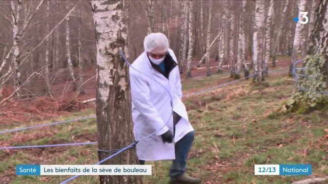 Pyrénées : début de la récolte de la sève de bouleau, réputée pour ses vertus