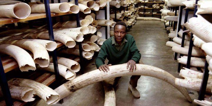 Un entrepôt de défenses d'éléphants saisies par les gardes du parc national du Zimbabwe. (Photo Reuters)