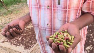 Le clou de girofle est surnommé l'or noir de Zanzibar. France 3 a suivi les étapes de sa récolte. (France 3)