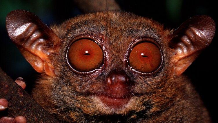 Le tarsier des Philippines est l'un des plus petits primates du monde. (REINHARD DIRSCHERL / AFP)