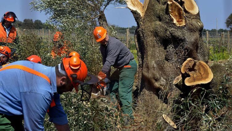 Des ouvriers abattent des oliviers infectés par la bactérie tueuse d'arbresXylella fastidiosa, à Oria (Italie), le 13 avril 2015. (GAETANO LO PORTO / AP / SIPA)
