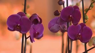 Orchidée (CAPTURE ECRAN FRANCE 2)