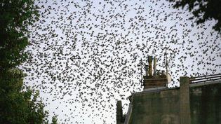 Des nuées d'étourneaux envahissent le ciel, en centre de ville de Perpignan (Pyrénées-Orientales), le 14 novembre 2006. (RAYMOND ROIG / AFP)