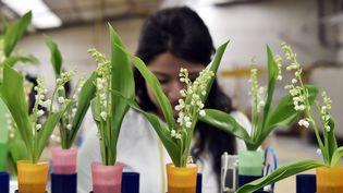 Une salariée d'une entreprise horticole produisant du muguet près de Nantes. (GEORGES GOBET / AFP)