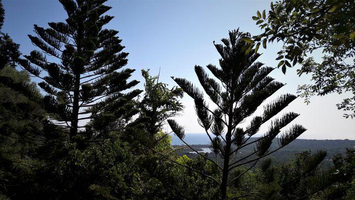 Araucarias et vue sur Méditerranée. (ISABELLE MORAND / JACQUES DELEUZE / RADIO FRANCE / FRANCE INFO)