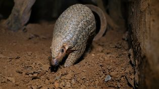 Un pangolin, au Vietnam. Photo d'illustration. (MANAN VATSYAYANA / AFP)
