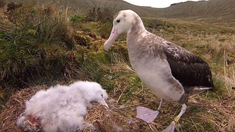 Un albatros de Tristan da Cunha et son oisillon,filmés parl'ONG Birdlife international, le 22 octobre 2018. (BIRDLIFE INTERNATIONAL / YOUTUBE)