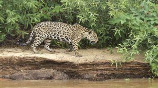 Un jaguar dans le Pantanal (Brésil), le 7 janvier 2019. (PIERRE VERNAY / BIOSPHOTO)
