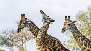 Des girafes dans le parc national Kruger, en Afrique du Sud, le 1er décembre 2016. (PATRICE CORREIA / BIOSPHOTO / AFP)