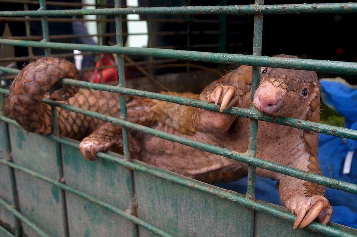 Un pangolin vivant saisi par les autorités indonésiennes, le 25 octobre 2017, à Pekanbaru, sur l'île de Sumatra (Indonésie). (WAHYUDI / AFP)