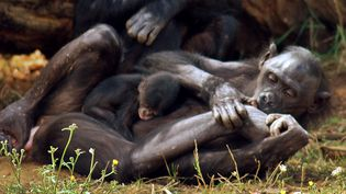 Ukela, une femelle bonobo de 27 ans, tient contre elle sonbébé, né trois jours plus tôt au parc zoologique La Vallée des singes, à Romagne (Vienne), le 7 août 2012. (LA VALLEE DES SINGES / AFP)