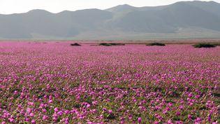 Des fleurs dans le désert d'Atacama, au Chili, le 27 septembre 2015. (CARLOS AGUILAR / AFP)