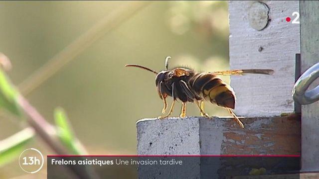 Environnement : le frelon asiatique se montre avec une saison de retard