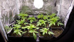 Des plants de cannabispoussent dans une maison à Esvres(Indre-et-Loire), le 4 janvier 2013. (ALAIN JOCARD / AFP)
