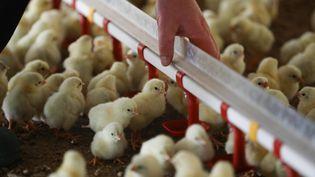 Des poussins dans un élevage avicole à Plougoulm dans le Finistère le 31 décembre 2020.  (LIONEL LE SAUX / MAXPPP)