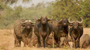 Des buffles au Parc national Mana Pools, au Zimbabwe, en 2014 (DAVID FETTES / CULTURA CREATIVE)