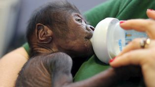 Un bébé gorille femelle né auzoo de Bristol (Royaume-Uni) en février 2016  (REUTERS)
