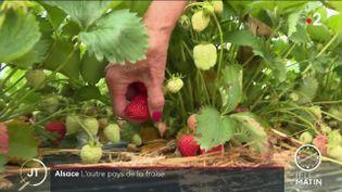 Des fraises cueillées en Alsace. (France 2)