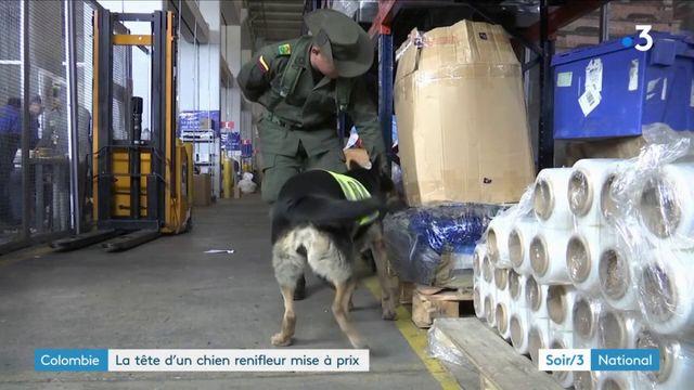 Colombie : la tête d'un chien renifleur mise à prix