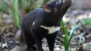 En Australie, plusieurs diables de Tasmanie ont été réintroduits dans la nature. (TORSTEN BLACKWOOD / AFP)