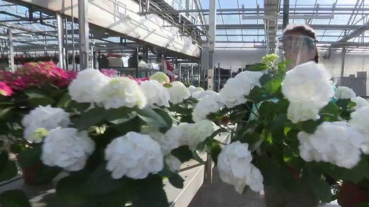 Avec cette période de confinement, la filière horticole est particulièrement menacée. C'est à la mi-avril qu'elle réalise normalement le plus gros de son chiffre d'affaires. Mais les fleuristes étant fermés, les producteurs se retrouvent avec des stocks de fleurs sur les bras. (France 2)