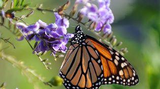 Un papillon monarque butine une fleur à Los Angeles, en Californie (Etats-Unis), le 28 octobre 2010. (GABRIEL BOUYS / AFP)