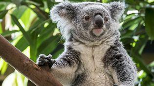 Un koala australien est pris en photo le 20 septembre 2017. (PHILIPPE CLEMENT / BELGA MAG / AFP)
