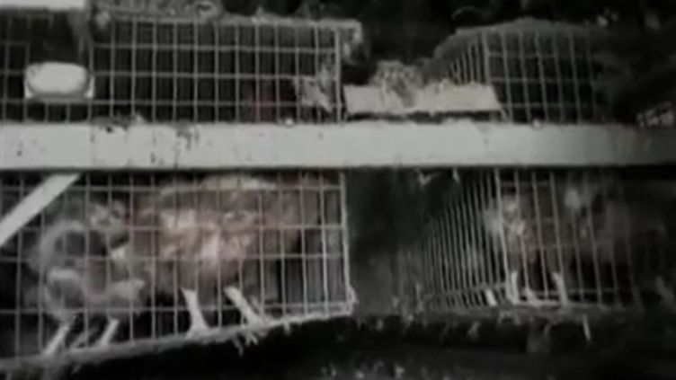 En France,6 millions de poules pondeuses vivent dans des cages qui ne sont pas aux normes. (FTVI / FRANCE 2)