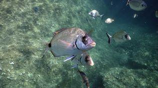 Vue des fonds sous-marins autour de l'île protégée de Port-Cros (Var). (YANNICK GOUGUENHEIM / BIOSPHOTO / AFP)