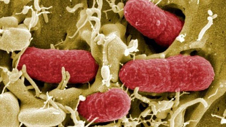 Bactéries E. coli entéro-hémorragique (ECeh). Image mis à disposition par l'intitut allemand HZI (AFP PHOTO HO / Manfred Rohde)