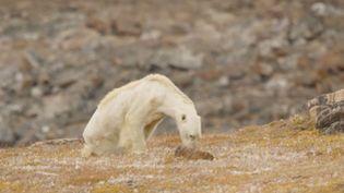 Capture d'écran de la vidéo du photographe Paul Nicklen, du National Geographic, montrant un ours décharné sur l'île de Baffin (Canada). (PAUL NICKLEN / NATIONAL GEOGRAPHIC)