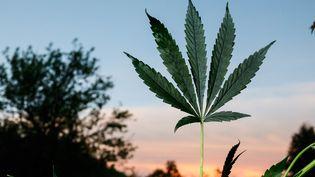 Une feuille de cannabis dans une exploitation dans la Creuse. (OLIVIER CORSAN / MAXPPP)