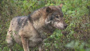 Rescapés, trois loups du parc animalier Alpha vivent désormais dans les Deux-Sèvres (A. Morel / France Télévisions)