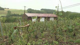 Aisne : des vignobles dévastés par les récents orages. (FRANCE 3)