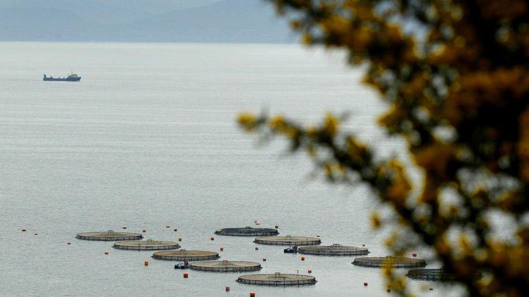 700 000 saumons se sont échappés d'un élevage à Puerto Montt, dans la Patagonie chilienne. (MARTIN BERNETTI / AFP)