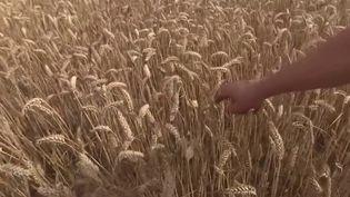 Le cours du blé en France est à la hausse, conséquence d'une chute de plus de 20% de la production. Cette année, la récolte est mauvaise à cause du mauvais temps. Illustration avec un champs en Seine-et-Marne. (France 3)