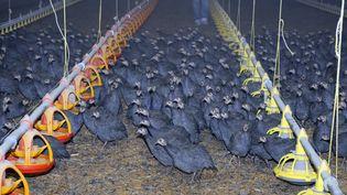 Un élevage de pintades chez un producteur de volailles à Saint Mazan (Lot et Garonne) le 27 novembre 2008. (JEAN-PIERRE MULLER / AFP)