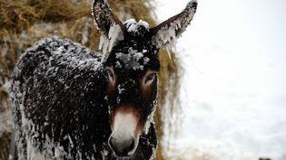 Après la tempête de neige qui a frappée le sud du Pilat, un âne sont quelques peu givrés, le 29 novembre 2012. (PHILIPPE VACHER / MAXPPP)
