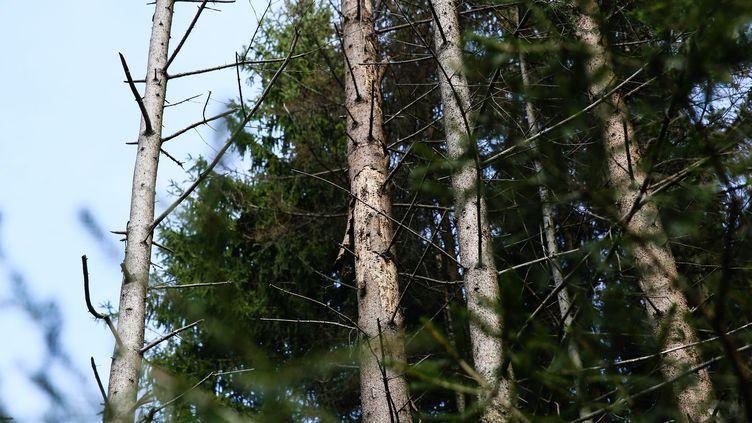 Les frênes déjà touchés par la chalarose en Haute-Savoie en 2014 (GREGORY YETCHMENIZA / MAXPPP)