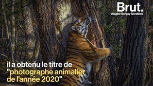 """VIDEO. """"Les observer dans la nature est pratiquement impossible"""" : l'histoire derrière la photo d'un tigre de Sibérie (BRUT)"""
