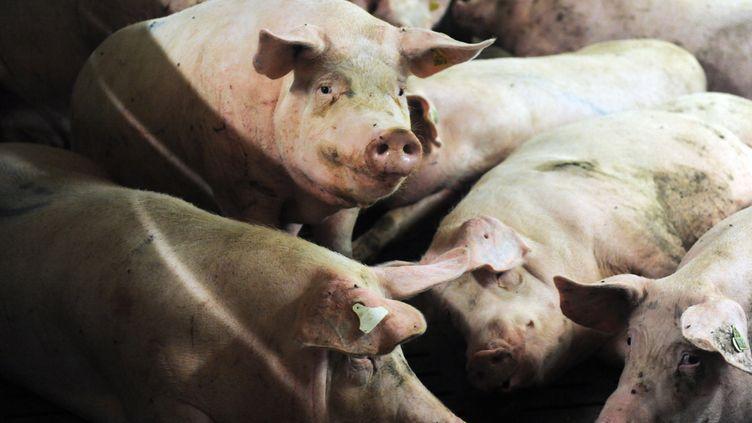 Des porcs dans un élevage de Plonéour-Lanvern, dans le Finistère, le 11 août 2015. (FRED TANNEAU / AFP)