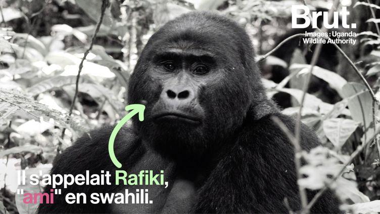 VIDEO. Ouganda : le célèbre gorille Rafiki retrouvé mort (BRUT)