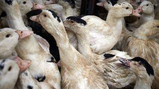 Un élevage de canards destiné à l'abattge en raison de la grippe aviaire à Toulouse (Haute-Garonne), le 13 janvier 2021. (ALAIN PITTON / NURPHOTO / AFP)