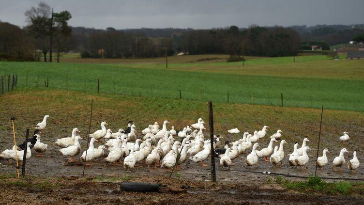 Des canards d'un élevage, le 29 décembre 2020 à Mugron (Landes). (GAIZKA IROZ / AFP)