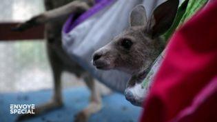 Australie : un refuge pour les kangourous rescapés des incendies (ENVOYÉ SPÉCIAL  / FRANCE 2)