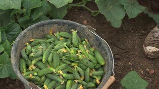 C'est l'un des derniers producteurs de cornichon en France : la maison Marc. La récolte a démarré début juillet et les plans de cornichons sont prometteurs. (France 3)