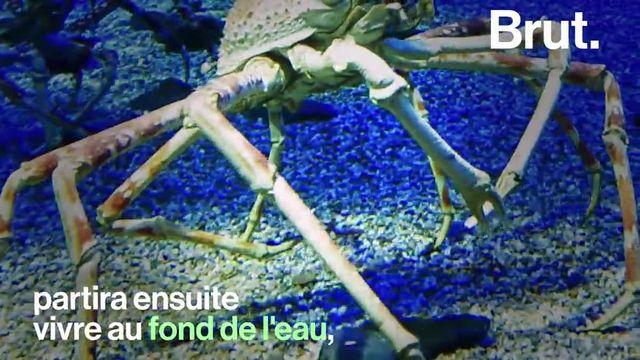 Ses pattes sont tout aussi impressionnantes que l'âge qu'il peut atteindre. Focus sur le crabe-araignée géant du Japon.