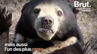 VIDEO. L'ours malais, le plus petit ours au monde (BRUT)
