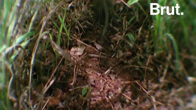 Souvent appelés rats à trompe, musaraignes à trompe voire musaraignes-éléphants à cause de leur apparence, ils forment, en fait, une famille de 19 espèces à part. Voici les sengis.