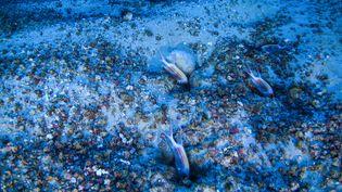 L'ONG Greenpeace et des scientifiques mènent une mission au large des côtes brésiliennes, pour tourner des images de la faune présente dans un récif de corail. Ces poissons ont été aperçus le 28 janvier 2017. (GREENPEACE BRAZIL)